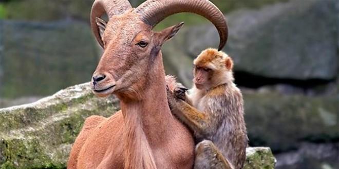 сценки на новый год с козой и обезьяной