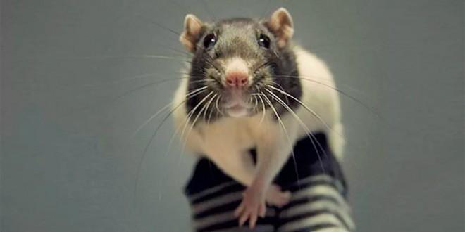 новогодние поздравления на год крысы